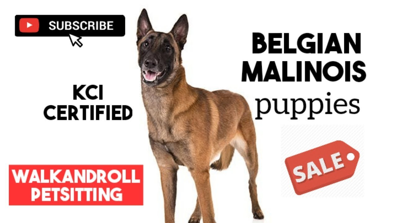 Belgian Malinois Dog Puppies For Sales In Tamilnadu Bangalore