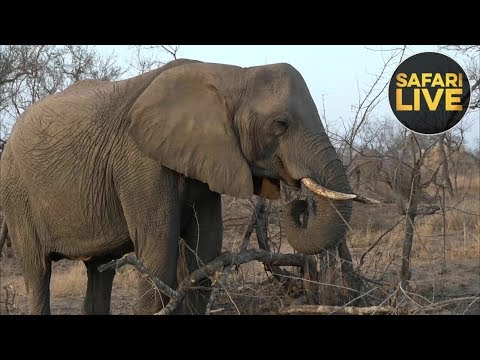 safariLIVE - Sunrise Safari - October 11, 2018