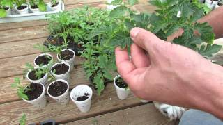 Tomato Transplants with Yellow Leaf Edges & Browning: Too Much Fertilizer? - TRG 2015
