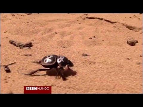 """Curioso caminar de """"escarabajos galopantes"""" BBC MUNDO"""