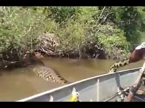Anaconda the largest snake in the world - Anaconda a maior cobra do mundo