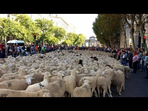 euronews (em português): Centro de Madrid invadido por ovelhas