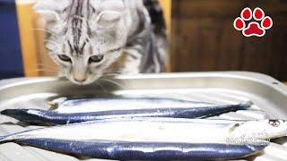 ダイニングルームで撮影のテスト中に現れた猫 アリス。味噌汁とホイル焼き、サンマを見ていった。 A cat that appears during a shooting test in the dining room. Alice ...