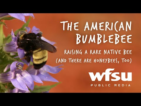 Beekeepers Give Home To Rare American Bumblebee Colony