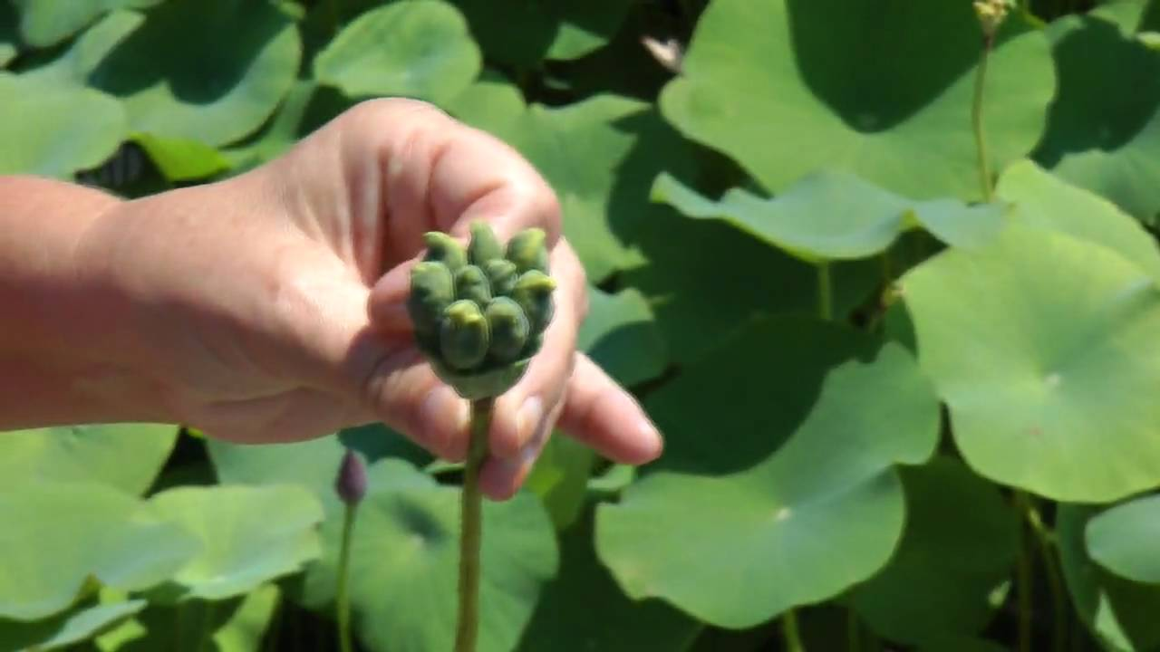 Laura Explains Seed Pods Of Lotus Flowers Youtube