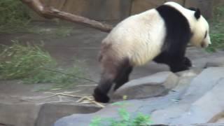 видео Большая панда (фото)