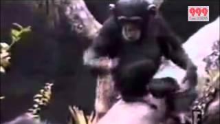 おしりの臭いが臭すぎて気絶するチンパンジー爆笑必須!!