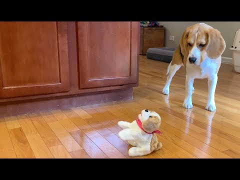 Cute beagle does not like this flipping dog toy