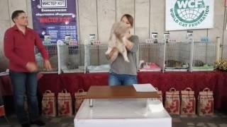 Британская лиловая мраморная кошка Hyundai Santa Fe Helga's Pleasure. Монопородный ринг у Игнатовой