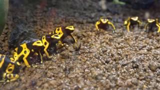Dendrobates leucomelas キオビヤドクガエル ロングバージョン あわしまマリンパーク カエル館