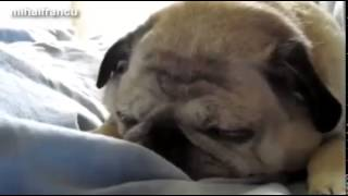 Funny Pugs Compilation 2015  Funny Pug Dogs Videos