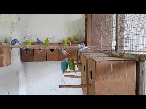 в гостях у заводчика попугаев в нижнегорском районе