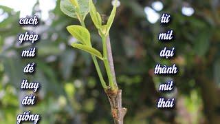 Cách Ghép Mít, Xoài,Thành Công 100% Trong 3 Phút (grafting mango jackfruit most effectively)