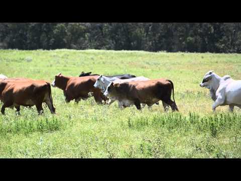 Milano Livestock Special Sale 8-12-14 6:30pm