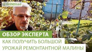 Как получить большой урожай ремонтантной малины(В этом видео наш эксперт расскажет Вам о том как получить большой урожай ремонтантной малины. Если Вы хотит..., 2014-11-26T09:43:00.000Z)
