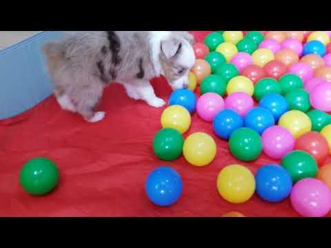 Toy Australian Shepherd Puppies at Play!