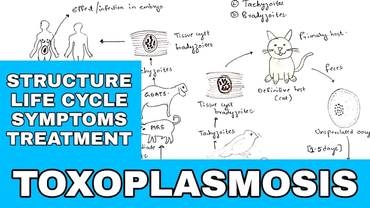 toxoplasmosis inkubációs periódus emberben)