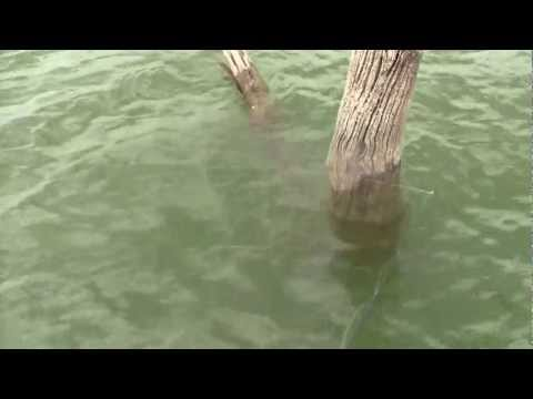 Tree Dipping For Crappie At Hillsdale Lake Kansas