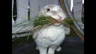 Запор у кролика, когда нужно давать сено