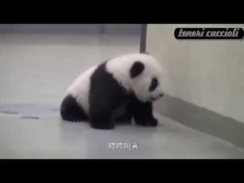 È ora di andare a letto! Mamma panda culla il proprio cucciolo