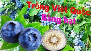 Cách trồng cây Việt Quất bằng hạt.