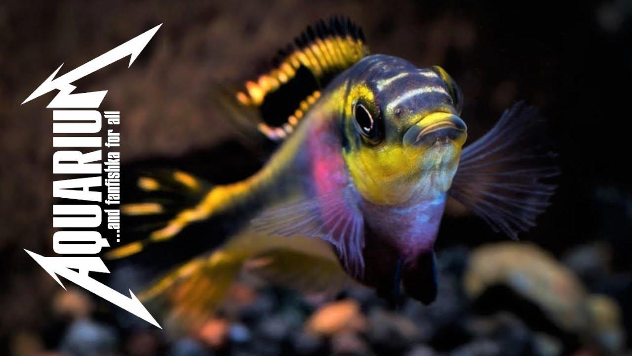 Африканские рыбки попугай`чики — Пельвикахромисы
