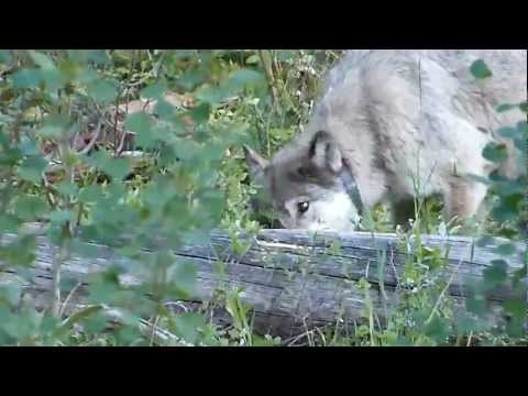 Wild Wolf, Lamar Pack, Yellowstone - Feeding - 06 female (alpha) - 832F
