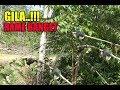 Pikat Burung Kecil Menggunakan Suara Rame Banget  Mp3 - Mp4 Download