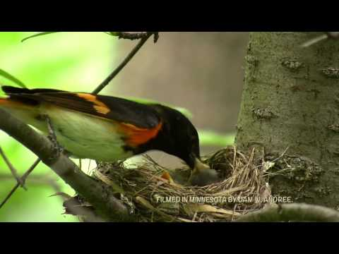 Adult male American Redstart feeding young.