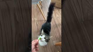 Chiquilon es el gato que le gusta el Brócoli. cat likes to eat broccoli