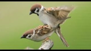 Mengenali Cara Menjinakkan Burung Gereja Yang Liar Yang Perlu Diketahui