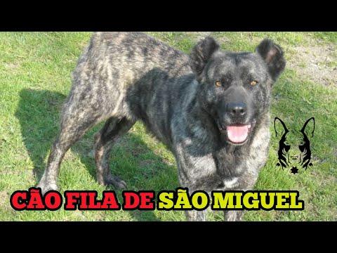 FILA DE SÃO MIGUEL (cães originais)