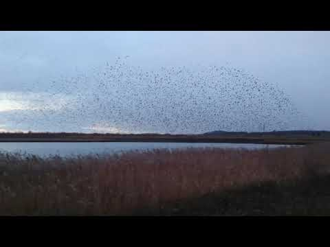 Starling Murmuration RSPB Fairburn Ings UK (WF10 2BH) 30.11.2017