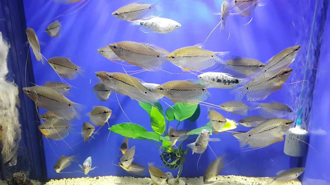 В отличие от большинства других сомов, окраска меродонтодуса очень яркая — контрастные полосы образуют неповторимый рисунок у каждой рыбы. Длина его достигает 70 см. В аквариуме ему нужны большие площади, разнообразные укрытия и мощный ток воды. В россии можно купить взрослого.