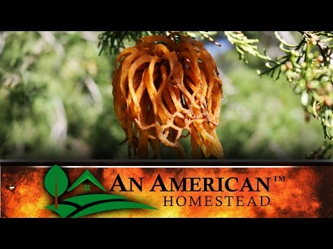 The Battle For Your Orchard - Cedar Rust