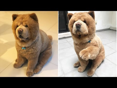 Cute Chow Chow - Chow Chow Puppy - Chow Chow - Chow Chow Dogs compilation #5