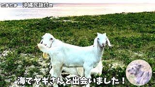砂浜でヤギさん家族と可愛いました!子ヤギ可愛すすぎ! エイサーの練習...
