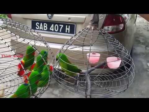 Funny Blue Crowned Hanging Parrots Gang War
