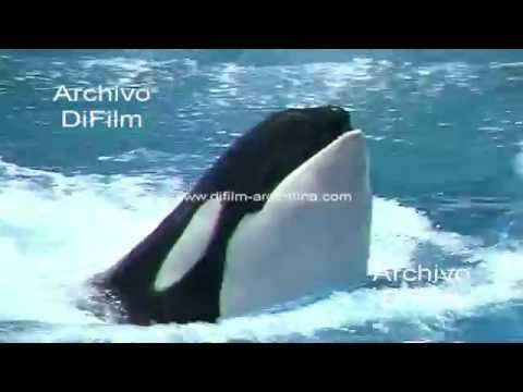 Espectaculo con Ballena Orca en el Marine World de San Francisco 1992