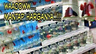 Beli Ikan Cupang di Pasar ikan Hias Jatinegara _Mantap Bro..!!!