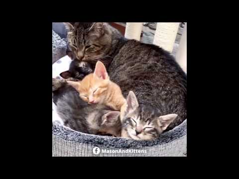 Rescue Grandpa Cat Gets New Foster Kittens to Cuddle with - TinyKittens
