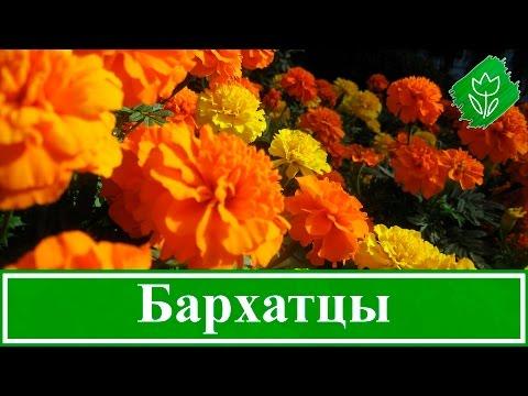 hqdefault Бархатцы: посадка, выращивание, уход, вредители и болезни, виды