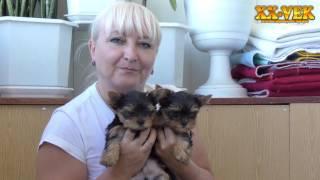 Вес щенков йоркширского терьера в 2 месяца - питомник XX Vek