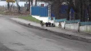 бродячие собаки нашего города(город Струнино в котором я живу .вот так у нас гуляют бродячие собаки., 2013-11-13T12:56:05.000Z)