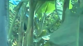 Download Video Video Mesum di Kebun Pisang MP3 3GP MP4