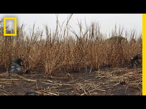 The Human Cost of Sugar Harvesting | National Geographic