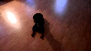 Roo Rottweiler 9 Weeks Old,1wk Board + Train At Cobblestone Kennel, Elkhorn, Wis.