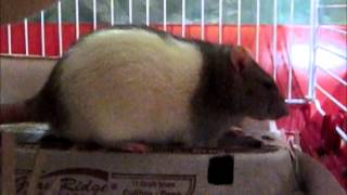 Fancy Rats: How to potty train your rats?