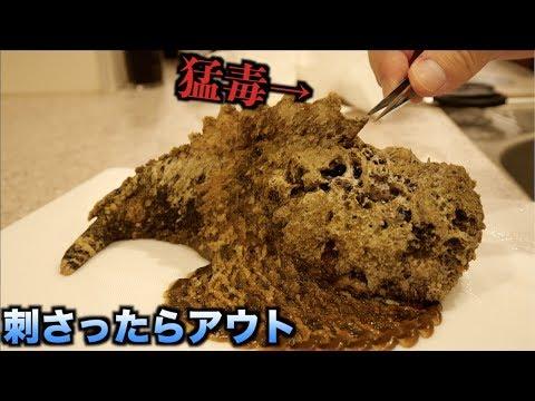 危険!!オニダルマオコゼの猛毒がどれだけヤバイかわかる動画