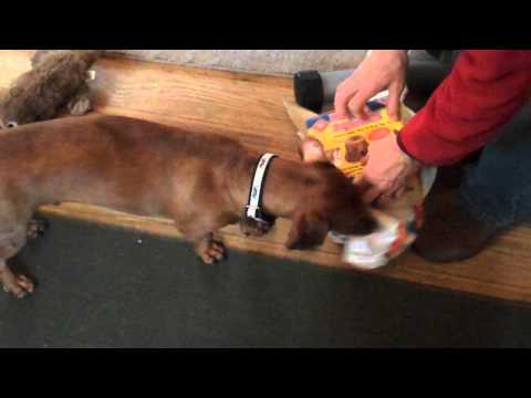 Ammo the Dachshund gets a present from his pal Trooper